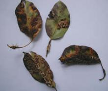 Pear rust image